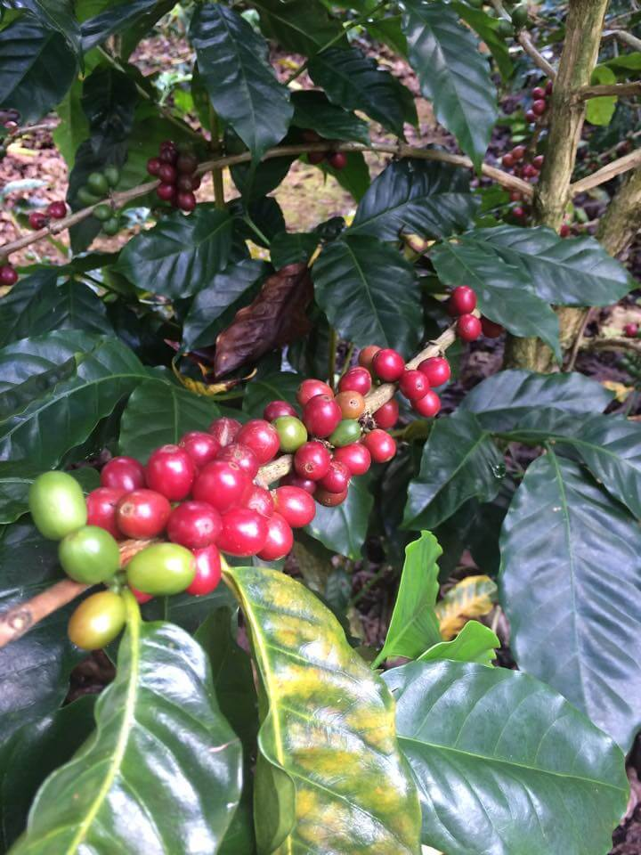Hoe een koffieplant groeit | Zwartekoffie