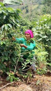 Koffie plukken in Costa Rica | Zwartekoffie.nl